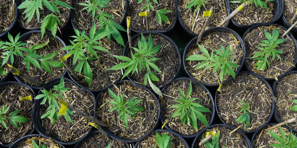 Cannabis License